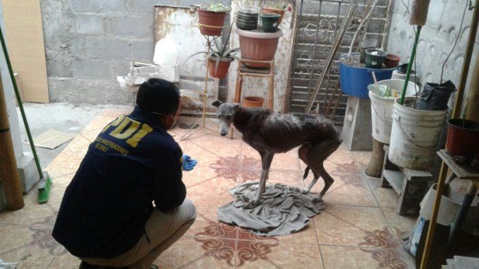 La PDI detiene a hombre en Arica por grave maltrato de perra galgo