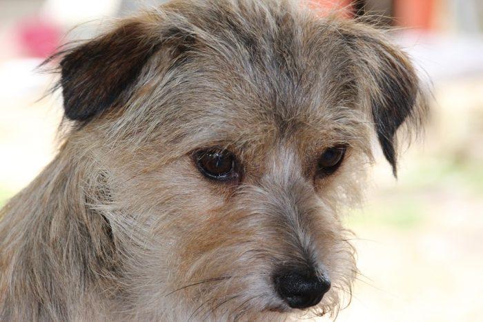 Ley Cholito: comienza a regir registro nacional obligatorio para mascotas