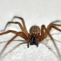 Estudiando el olfato de arañas de rincón científicos buscan crear eficaz repelente