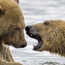 [FOTOS] El pueblo de Alaska que se convirtió en un santuario de osos polares