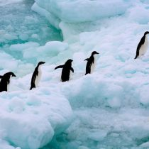 Letal marcha de pingüinos en la Antártica: sobreviven sólo dos crías de una colonia de 40 mil