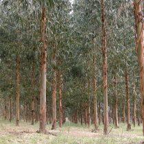 Promover la captura de carbono con árboles invasores aumenta riesgo de incendios y otros daños al ecosistema, según estudio