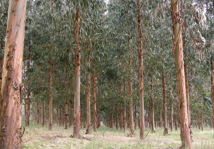 Gobierno portugués prohíbe replantar con eucalipto zonas de otras especies