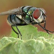 La enorme cantidad de bacterias que transportan las moscas comunes (y cómo pueden propagar enfermedades)