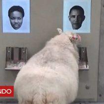 [VIDEO] ¿Es este señor Barack Obama?: experimento demostró que ovejas pueden reconocer rostros
