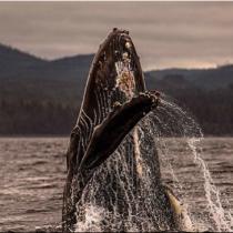 [VIDEO C+C] Así suena el canto de una ballena jorobada