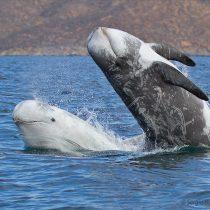Preocupación en Arauco por masiva varazón de delfines