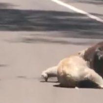 [VIDEO] La inusual pelea en público que tuvieron dos koalas que obligó a detener el tránsito en Australia