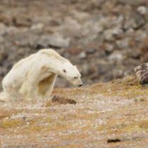[VIDEO] El estremecedor registro de un famélico oso polar buscando comida enciende las alarmas sobre el cambio climático