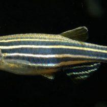 Analizan genoma del pez cebra para  estudiar causas de la ceguera en humanos