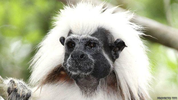 Pequeño primate colombiano juega un papel clave en su conservación y en la de su hábitat