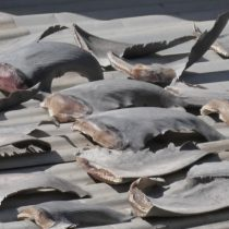 Cientos de aletas de tiburón sobre tejado en Providencia conmocionan a la comunidad científica nacional e internacional