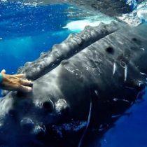 [VIDEO] El increíble momento en que una ballena jorobada
