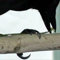 Expertos intentan entender la consciencia animal en cuervos