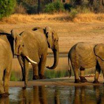 Compra de elefantes: la actividad que se quiere restringir