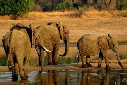 En lista roja: elefantes africanos enfrentan creciente peligro de extinción
