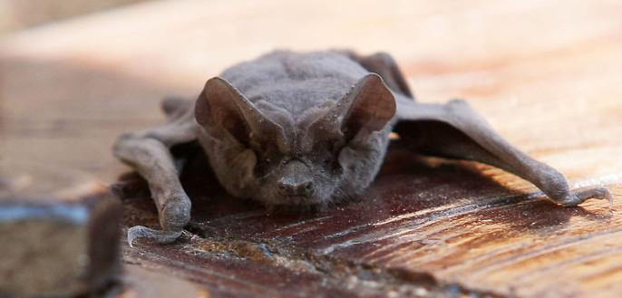 Cadena de supermercados detalla medidas tras hallazgo de murciélago en local de Quilpué