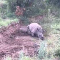 [VIDEO] La triste imagen de un bebé rinoceronte que intenta alimentarse de su fallecida madre