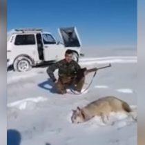 [VIDEO] Hoy en karma: lobo atacado por cazadores se hace el muerto para vengarse de su agresor
