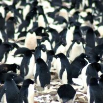 Cómo descubrieron desde el espacio una enorme colonia de pingüinos en la Antártida