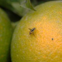 Detectan un foco de la mosca de la fruta en la comuna de Providencia