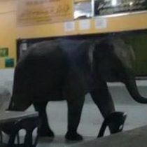[VIDEO] Compañero nuevo: Elefante irrumpe en una escuela en Malasia