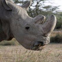 Qué pueden hacer los científicos para salvar a la especie a la que pertenecía Sudán, el último rinoceronte blanco macho que quedaba en el mundo