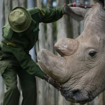 Muere Sudán, el último rinoceronte blanco macho que quedaba en el mundo