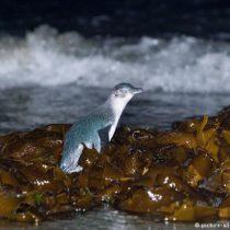 El Niño cobra sus primeras víctimas : Miles de pingüinos azules mueren por aumento de la temperatura del mar