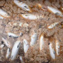 Fallo de la Suprema por toneladas de salmones vertidos al mar destroza institucionalidad ambiental