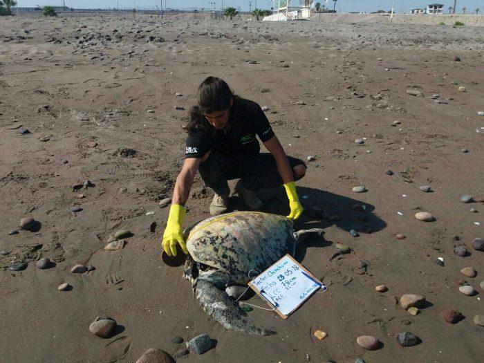 Conmoción en Arica por hallazgo de tortugas marinas decapitadas
