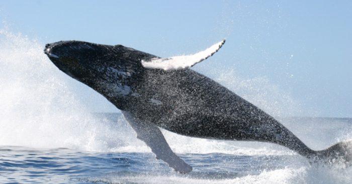 Debido al calentamiento de los océanos, una especie de medusas amenaza principal alimento de las ballenas