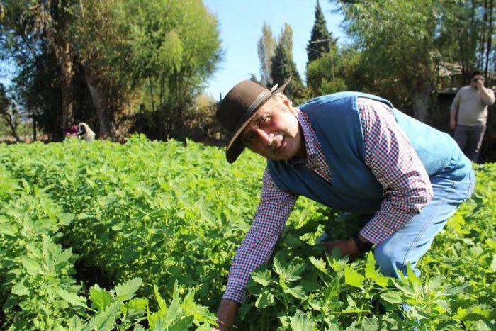 La innovadora idea que revaloriza la quínoa y busca potenciar su hoja como alimento