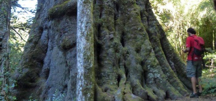 No nos olvidemos de los gigantes: árboles monumentales y patrimonio natural de Chile