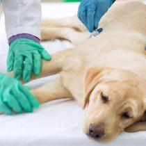 Influenza canina: Colegio Médico Veterinario desmiente posible pandemia y explica las posibilidades reales de contagio a los humanos