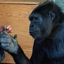 Koko: la pariente evolutiva que recuerda lo poco