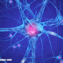 Científicos identifican una proteína que regula formación de las neuronas de la memoria