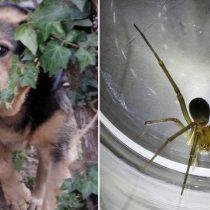 Expertos en perros asilvestrados y en arañas de rincón: los científicos chilenos populares de Netflix