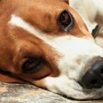 Patas arqueadas y somnolencia son manifestaciones de carencia de vitaminas en perros