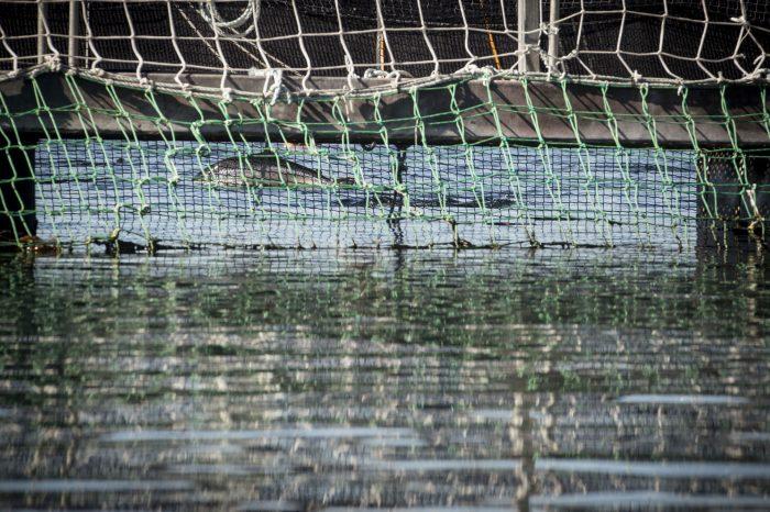 Fuga de salmones en Marine Harvest: Más de 2 millones de especímenes se han escapado en 8 años