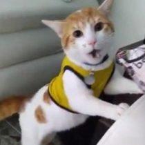 El gato hincha de Colombia que se hace viral en redes sociales