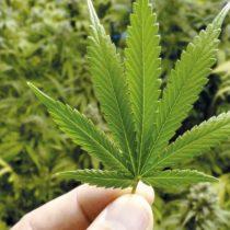 La marihuana también salió del clóset: libro