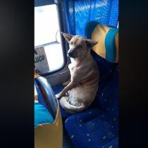 Perrito pasajero da el ejemplo de cómo comportarse arriba de un microbús