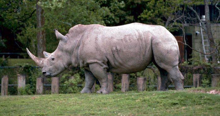 Crean en laboratorio embriones híbridos de rinoceronte blanco casi extinto