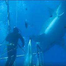 Graban al tiburón blanco más grande de la historia