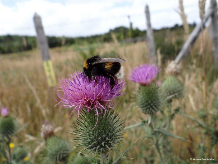 Científicos llaman a prohibirla importación del abejorro europeo en Chile