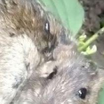 Singular hallazgo en la India: encuentran a roedor al que le crecía una planta en la espalda
