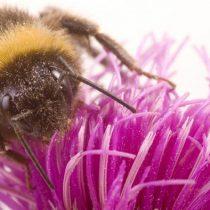 Nuevo insecticida también perjudica a las abejas