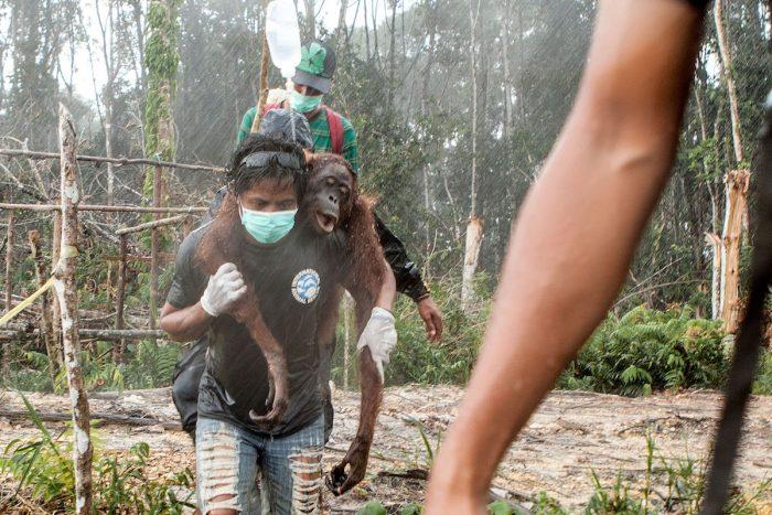 Día Mundial de Orangután: sin árboles para sobrevivir