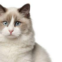 Un 40% de los gatos domésticos son obesos: ¿cómo velar por una adecuada alimentación?